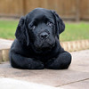 Labrador Puppies :